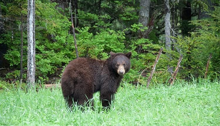 Canadá - Vida Selvagem